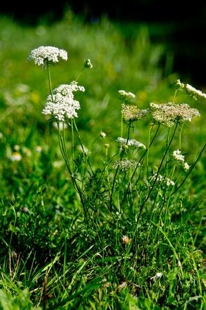 The wild yarrow (Achillea collina) herbal medicine as well. Stock Photo