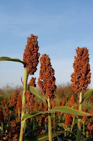 sorgo: El sorgo dulce (Sorghum dochna provar) cultivos forrajeros.