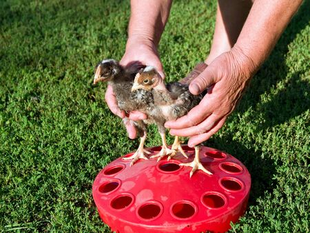 tame: The chicks, the tame drinkers can be set manually.