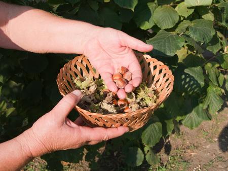 corylus: European hazel (Corylus avellana) picking fruit in the bush. Stock Photo