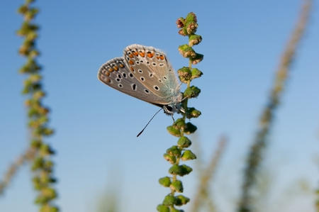 icarus: Common blue (Polyommatus icarus) in the autumn flowers Stock Photo
