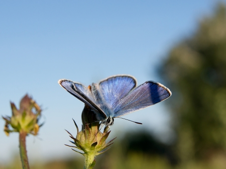 polyommatus: Common blue (Polyommatus icarus) in the autumn flowers Stock Photo