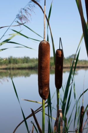 mace: Cattail mace (Typha latifolia) plants of the waterfronts.