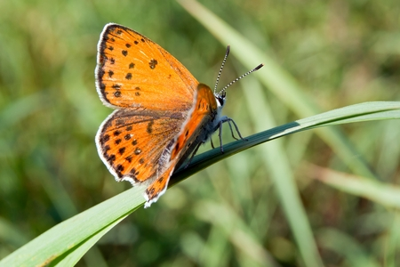glycerin: Common hay butterfly (Coenonympha glycerin) in wild flowers. Stock Photo