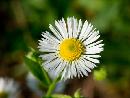 opens: The autumn field daisy fleabane (Stenactis annua) opens.