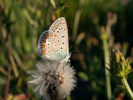 polyommatus icarus: Common blue (Polyommatus icarus) in the autumn flowers.