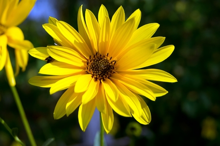 argyranthemum: The yellow daisy (Argyranthemum frutescens) beautiful autumn flower. Stock Photo