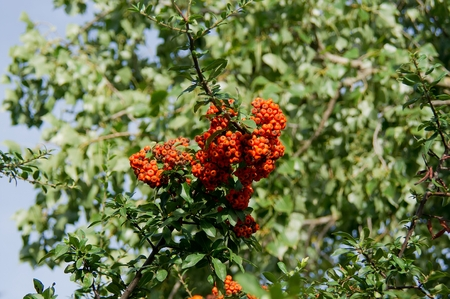 yields: The fire thorn (Pyracantha coccinea) yields the park ornament.