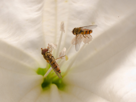syrphidae: hoverfly (Syrphidae) on trumpet flower pollen eating. Stock Photo
