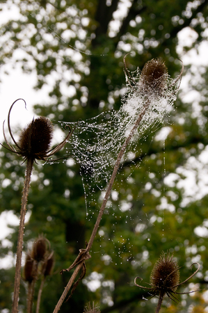 struggled: He struggled with water drops on spider web thistle.