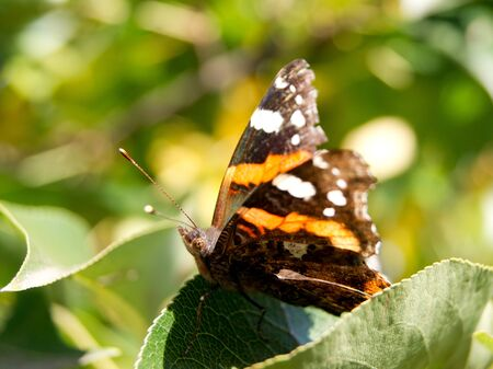 admiral: The Red Admiral (Vanessa Atalanta) in the pear tree leaves. Stock Photo