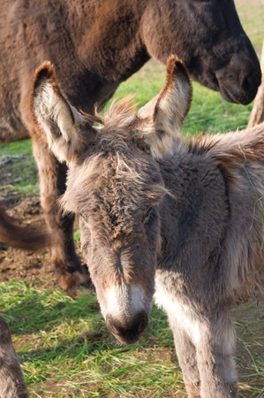kept: The donkeys are kept in the fold. Stock Photo