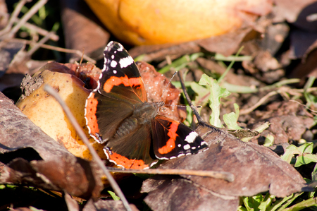 admiral: Admiral butterfly (Vanessa Atalanta) in the autumn garden.