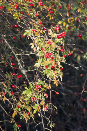 wild rose: The wild rose (Rosa Canina) berries, rose hips. Stock Photo