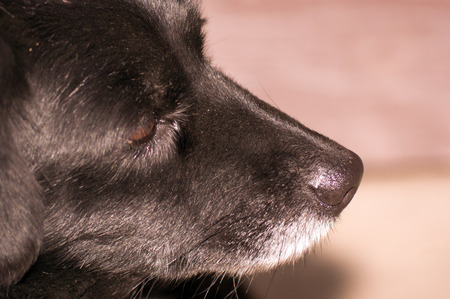 nose job: The black dogs nose and sense of smell is an important sensory organ. Stock Photo