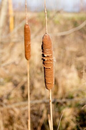 disperse: Cattail (Typha latifolia) mace made from the seeds disperse.