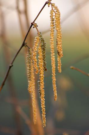 corylus: European hazel (Corylus avellana) flower in late winter.