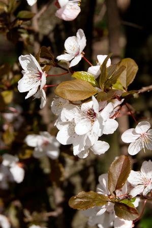 myrobalan: Blood Plum (Prunus cerasifera) pink spring flowers.