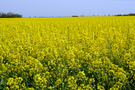 coleseed: The rapeseed (Brassica napus) field yellow spring.