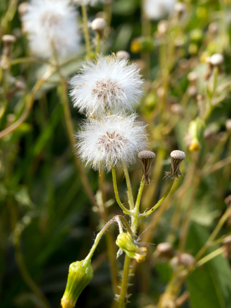 willy: The common groundsel (Senecio vulgaris) in early spring weeds.