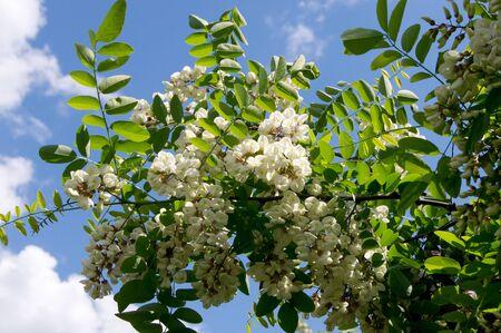 langosta: The black locust (Robinia pseudoacacia) flower edible and medicinal properties.