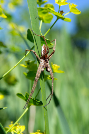 pisaura mirabilis: Cross spider (Pisaura mirabilis) spurge flowers hunts. Stock Photo