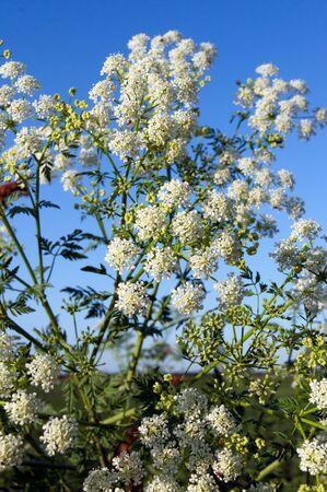 cicuta: La cicuta (Conium maculatum), plantas venenosas en la zanja.
