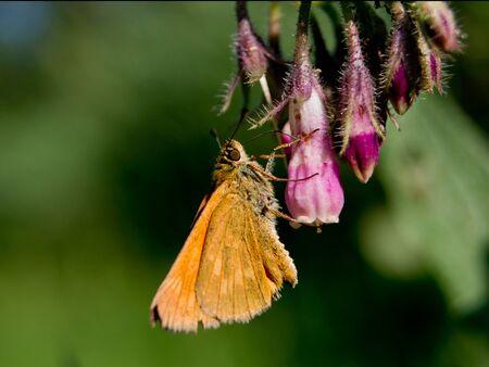 ochlodes: The large skipper (Ochlodes sylvanus) nettle flowers.