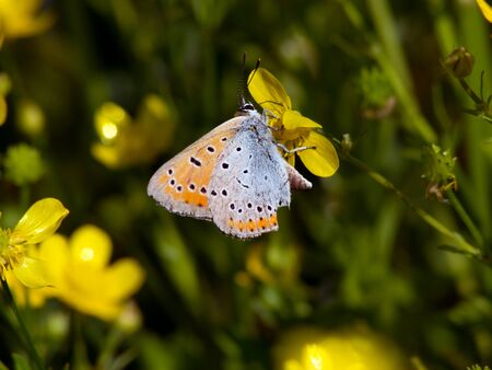 icarus: Common blue (Polyommatus icarus) on the meadow buttercup.