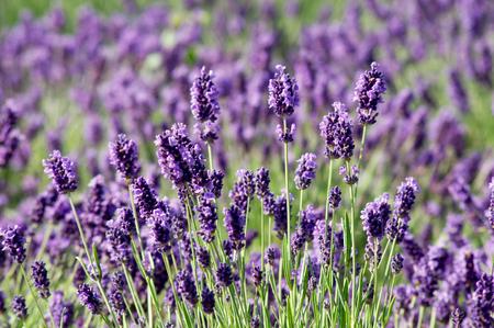 Spring, summer opening of lavender (Lavandula angustifolia).