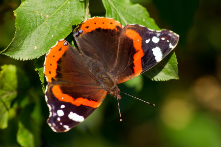 nymphalidae: The admiral butterfly (Vanessa Atalanta) of green leaf.