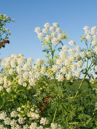 hemlock: La cicuta (Conium maculatum), plantas venenosas en la zanja.