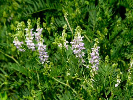 The spring vetch (Vicia sativa L.) field weed and feed crops.