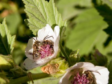 healing process: Marshmallow (Althaea officinalis) is a natural healing process.