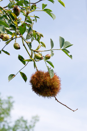 gall: Rose gall, caused by a wasp named Rhodites Rosae.