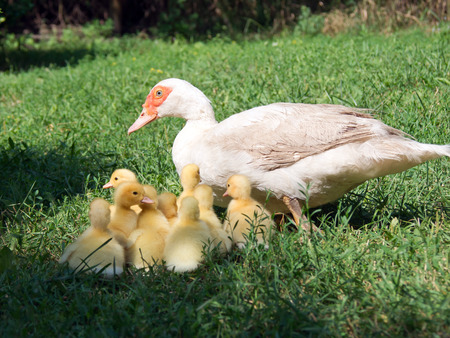 Silent duck (Cairina moschata) leads the ducklings. Stock Photo
