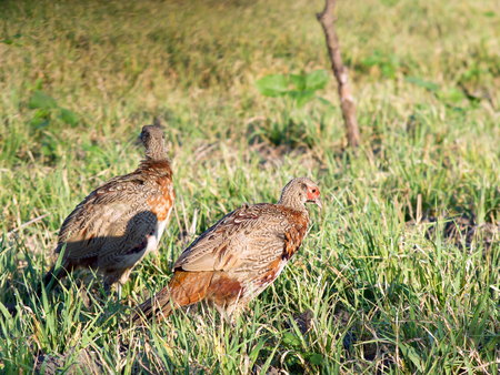 Pheasants in the field. field, nature, bird, wildlife
