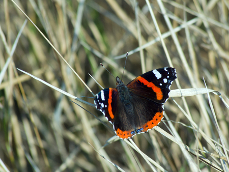 admiral: The admiral butterfly (Vanessa Atalanta) of dry grass  .
