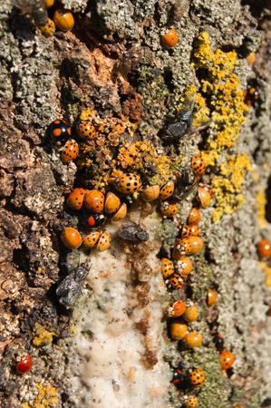 Harmonia axyridis large quantities of ash tree sap.   Imagens