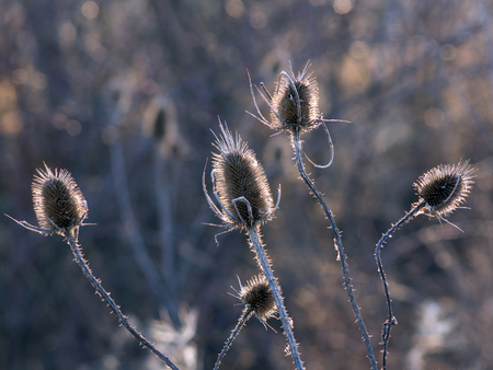 winter field: The dry dipsacus laciniatus the winter field.