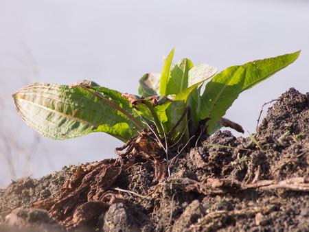 Meadow dock (Rumex obtusifolius L.) plants in the fields.