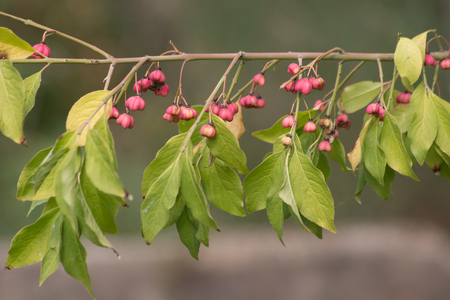 The Japanese spindle (Euonymus japonicus) is an evergreen shrub of parks.