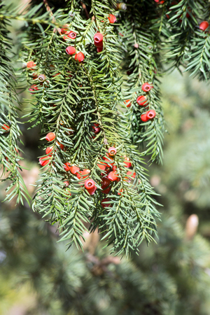 Yew Tree (Taxus baccata) is a slow growing but very long-lived tree species. Stock Photo
