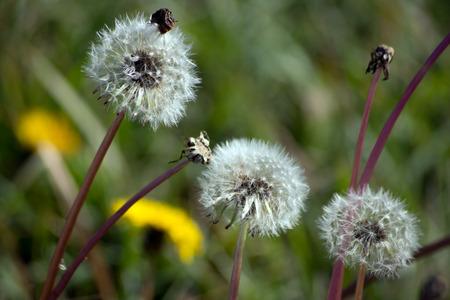 Одуванчик или клецки пельмени (Taraxacum officinale) в саду. Фото со стока