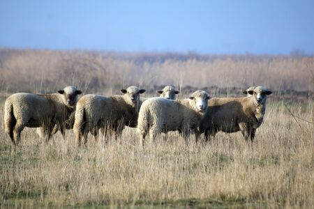 Sheep (ovis aries aries) in the pasture.