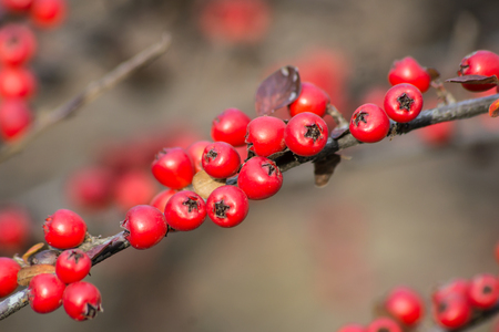 The fire thorn (Pyracantha coccinea) yields the park ornament.