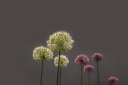 The giant ornamental onion (Allium giganteum) spring buds. Stock fotó