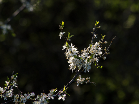 The first wild plum spring flower buds stock photo picture and stock photo the first wild plum spring flower buds mightylinksfo