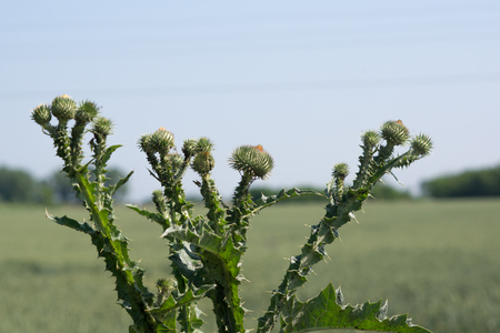 The acanthoides Carduus L. - roadside thistle leaves of spring.