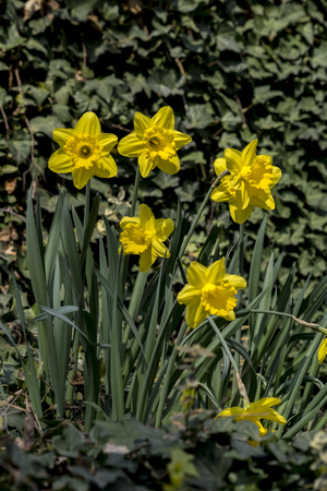 Narciso (Narcissus angustifolius) the first flowers of spring has sprung.